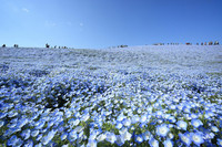 2_nemophila_flower_gardens_japan