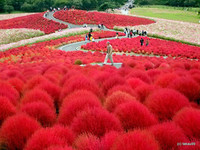 4-annabelkind999_hitachi-seaside-park-japan-a-scarlet-wonder1378798824514