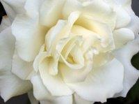 white-rose-12943655c91