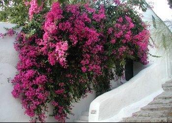 tunisie-bougainvillees