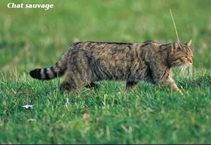 chat-sauvage-pre
