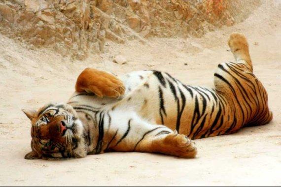 tigre_indochine