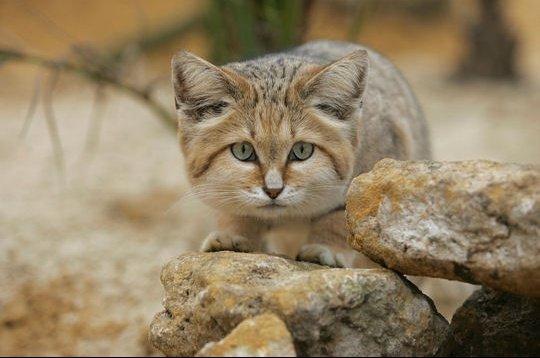 chat-du-desert
