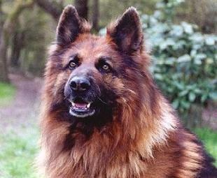 berger allemand Altdeutscher Schäferhund