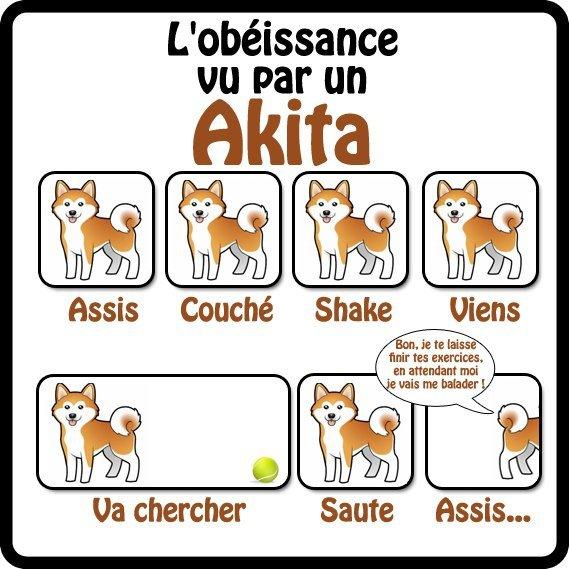 obéissance et akita