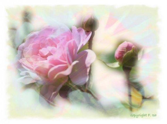 douceur-d-une-rose-