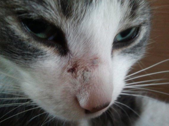 Mes chats ont des boutons sur le visage chats forum animaux - Mes chats ont des puces ...