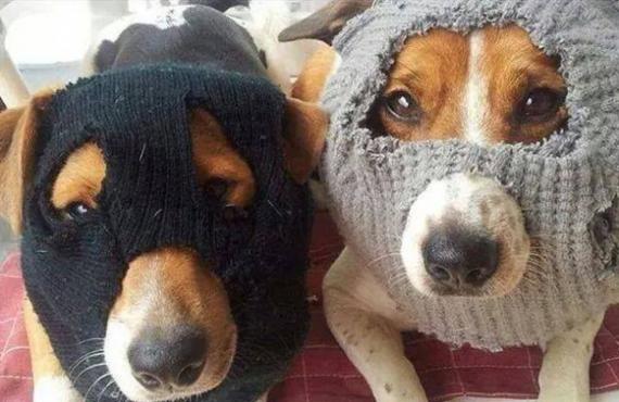 chiens-voleurs