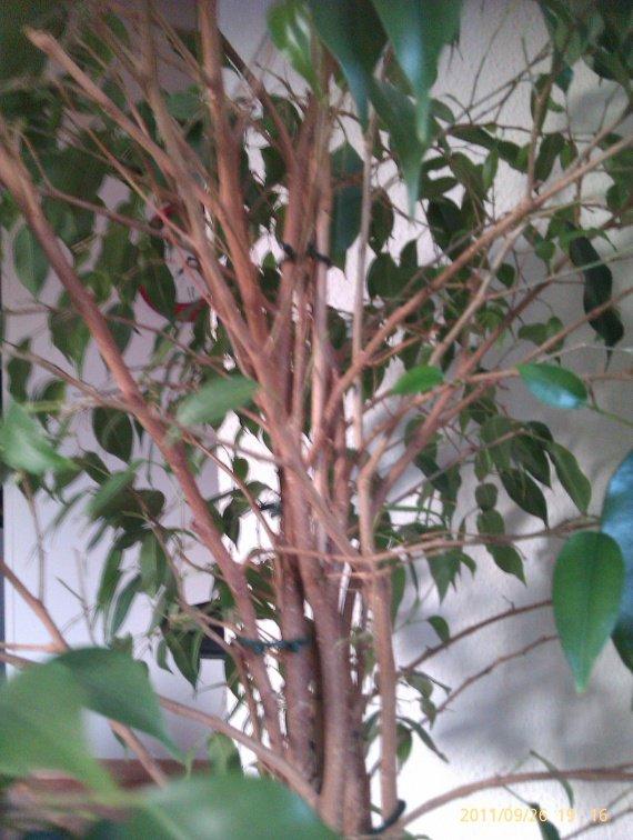 ficus sauvetage - jardinage - forum vie pratique