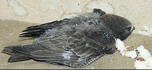 oiseau tomb du nid aide pour d terminer son esp ce et le sauver oiseaux forum animaux. Black Bedroom Furniture Sets. Home Design Ideas
