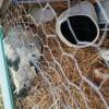 Coq en train de manger, après le changement d'enclos