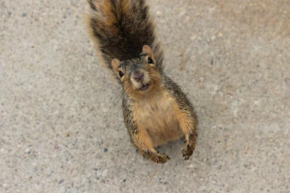 Écureuil prêt à cueillir des glands à tout moment