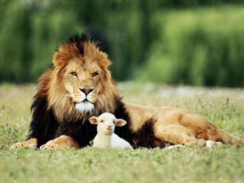 masse-lion-and-lamb-big