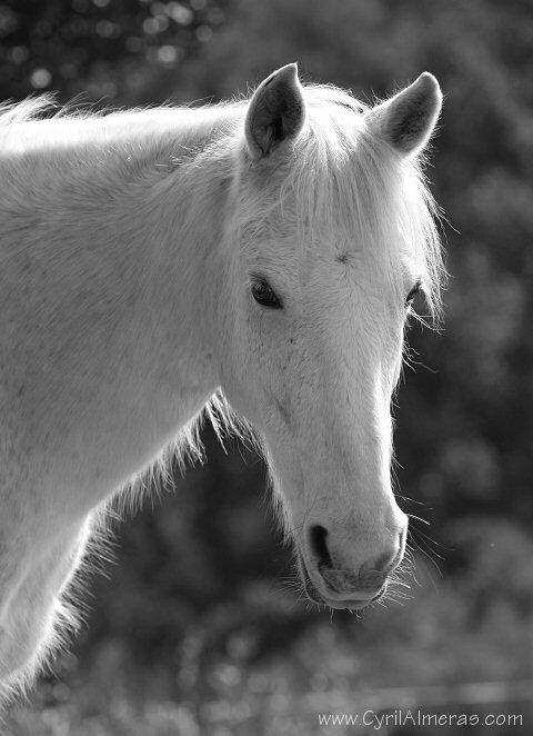 Img 2510 tete de cheval blanc noir et blanc b w zanimo - Image tete de cheval ...
