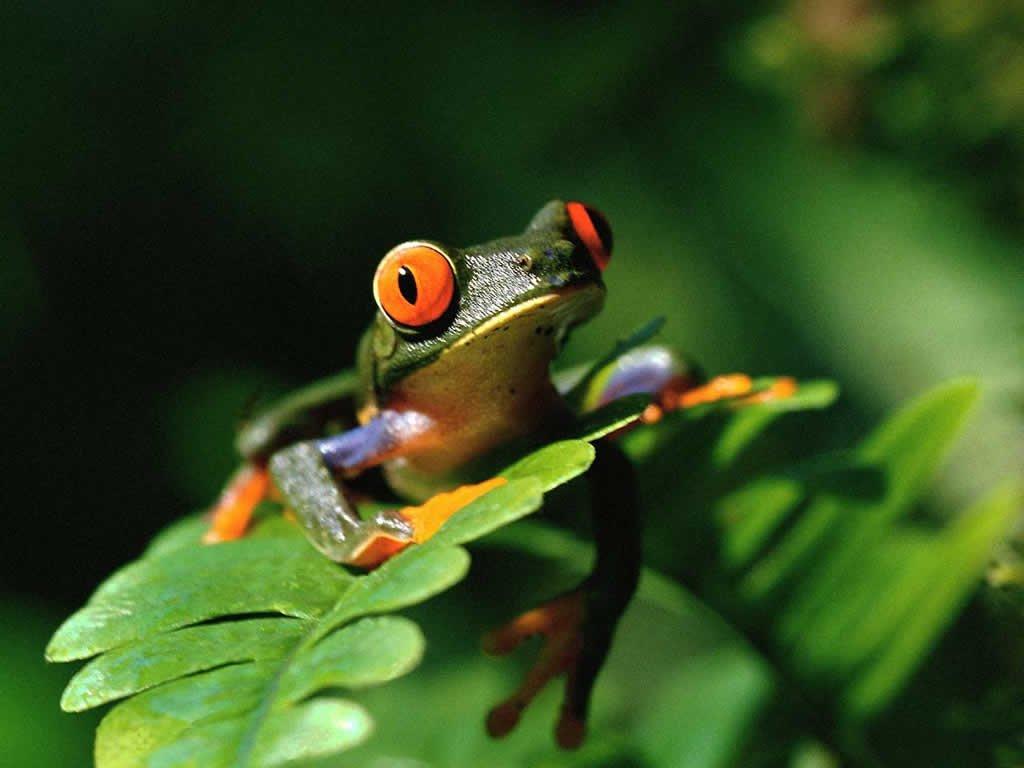 grenouille-grenouille-arcenciel-big