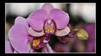 orchidèe