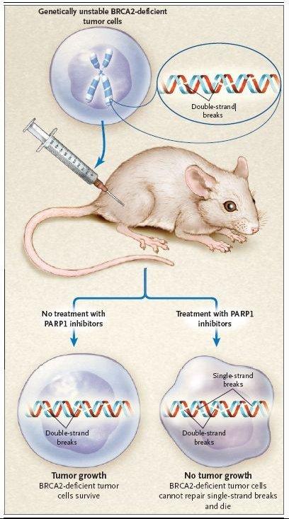 inhibition de PARP sur tumeur BRCA