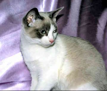 snowshoe-cat-0012