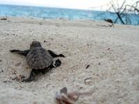 Le-bebe-tortue