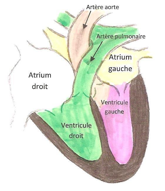 1- Anatomie