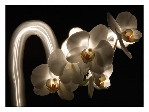 galerie-membre,fleur-orchidee,light-painting-orchidee