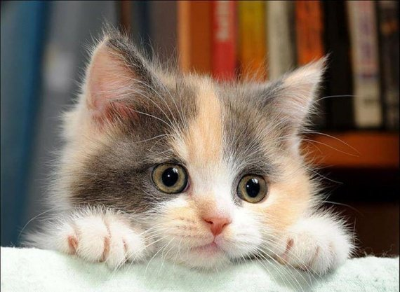 animaux-chat-img