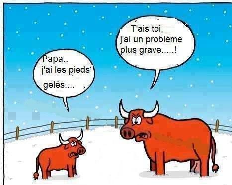 taureaux dans la neige...