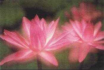 lotus-ouvert