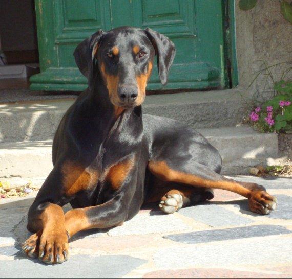 L 39 interdiction de couper les oreilles des dobermann etc page 12 chiens forum animaux - Coupe des oreilles dobermann ...