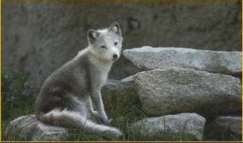renard-polaire-B
