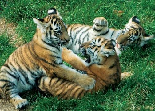 Les macs de la mignonnitude du règne animal Animaux-bebes-tigres-big