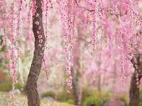 Cerisier-en-fleurs-au-Japon-18
