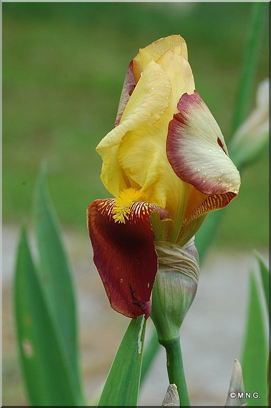 floraison d un iris macro fleurs michelle692 photos club doctissimo. Black Bedroom Furniture Sets. Home Design Ideas