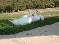 une oie et 2 canards blancs