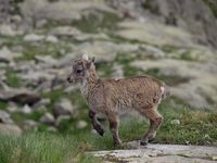 faune-du-mercantour-patagon_009