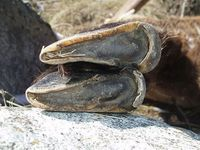 faune-du-mercantour-patagon_006