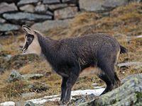 faune-du-mercantour-patagon_018