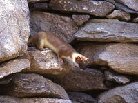 faune-du-mercantour-patagon_027