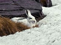 faune-du-mercantour-patagon_030