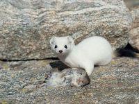 faune-du-mercantour-patagon_026