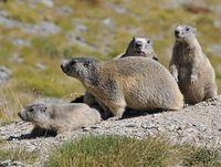 faune-du-mercantour-patagon_033