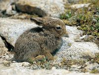 faune-du-mercantour-patagon_031