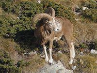faune-du-mercantour-patagon_034