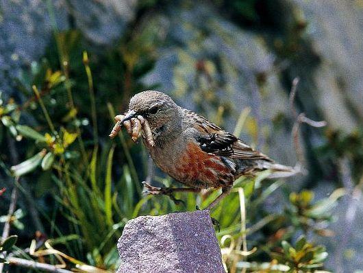 oiseaux-du-mercantour-patagon_001
