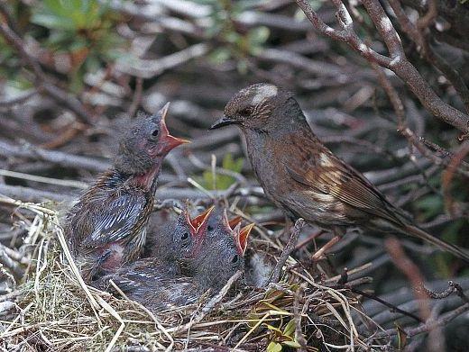 oiseaux-du-mercantour-patagon_002