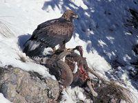 oiseaux-du-mercantour-patagon_003
