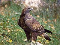 oiseaux-du-mercantour-patagon_004