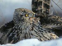 oiseaux-du-mercantour-patagon_006
