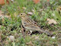 oiseaux-du-mercantour-patagon_011