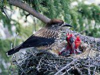 oiseaux-du-mercantour-patagon_013